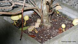 Phil Bendle Collection:Leucocoprinus birnbaumii (Flowerpot parasol)
