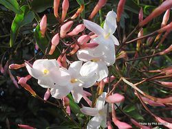 Phil Bendle Collection:Jasminum polyanthum (White & Pink Jasmine)