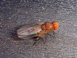Phil Bendle Collection:Fly (Lauxaniidae family)