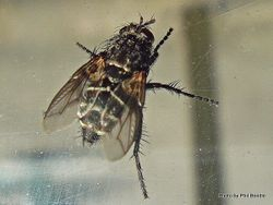 Phil Bendle Collection:Fly (Bristle) Tachinidae (Tribe Voriini)
