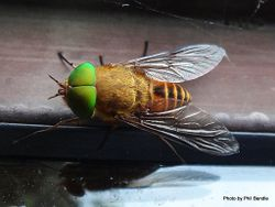 Phil Bendle Collection:Fly (Green head) Genus Tabanus