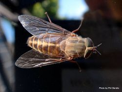 Phil Bendle Collection:Fly (Horse fly) Family Tabanidae