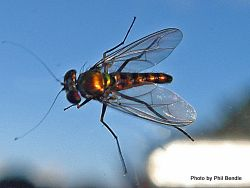 Phil Bendle Collection:Fly (Long legged bronze) Parentia spp