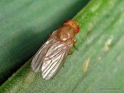 Phil Bendle Collection:Fly (Red eyed, small) Probably in the family Sapromyzidae
