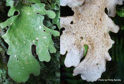 Phil Bendle Collection:Foliose lichen photos