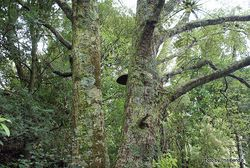 Phil Bendle Collection:Fomitiporia robusta (Phellinus robustus)
