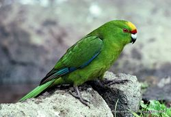 Phil Bendle Collection:Parakeet (Forbes) Cyanoramphus forbesi