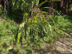 Phil Bendle Collection:Cordyline banksii (Forest Cabbage Tree)