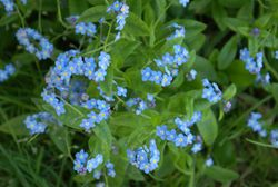 Phil Bendle Collection:Myosotis (Genus) Forget me not