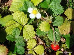 Phil Bendle Collection:Fragaria vesca (Alpine Strawberry)