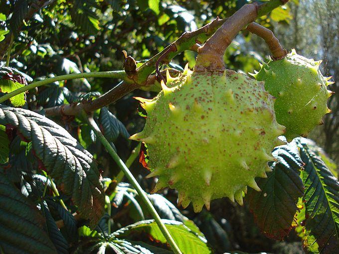 Fruit on tree.JPG
