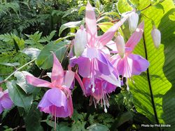 Phil Bendle Collection:Fuchsia (Genus )