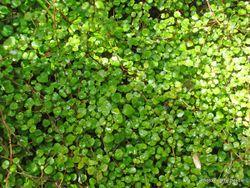 Phil Bendle Collection:Fuchsia procumbens (Creeping Fuchsia)