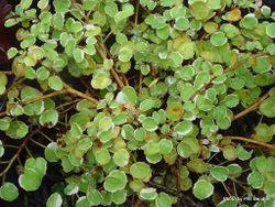 Phil Bendle Collection:Fuchsia (Variegata) Fuchsia procumbens variegata