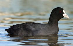 Phil Bendle Collection:Coot (Australian) Fulica atra australis