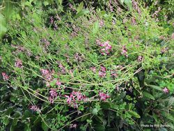 Phil Bendle Collection:Fumaria muralis (Scrambling Fumitory)
