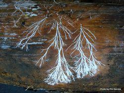 Phil Bendle Collection:Fungal mycelia