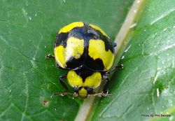 Phil Bendle Collection:Ladybird (Fungus-Eating) Illeis galbula