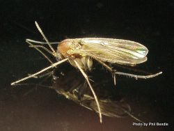 Phil Bendle Collection:Gnat (Fungus) Family Mycetophilidae
