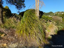 Phil Bendle Collection:Gahnia xanthocarpa (Giant cutty grass, Mapere) Native