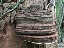 Phil Bendle Collection:Ganoderma australe (Artist s porebracket)