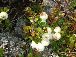 Phil Bendle Collection:Snowberry (Gaultheria depressa var. novae-zelandiae)