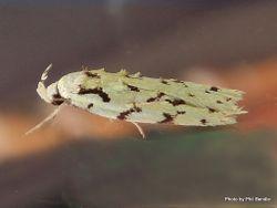 Phil Bendle Collection:Izatha peroneanella (Lichen, Green)