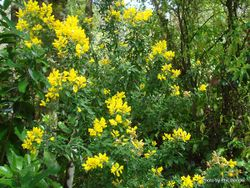 Phil Bendle Collection:Genista stenopetala (Sweet Broom)