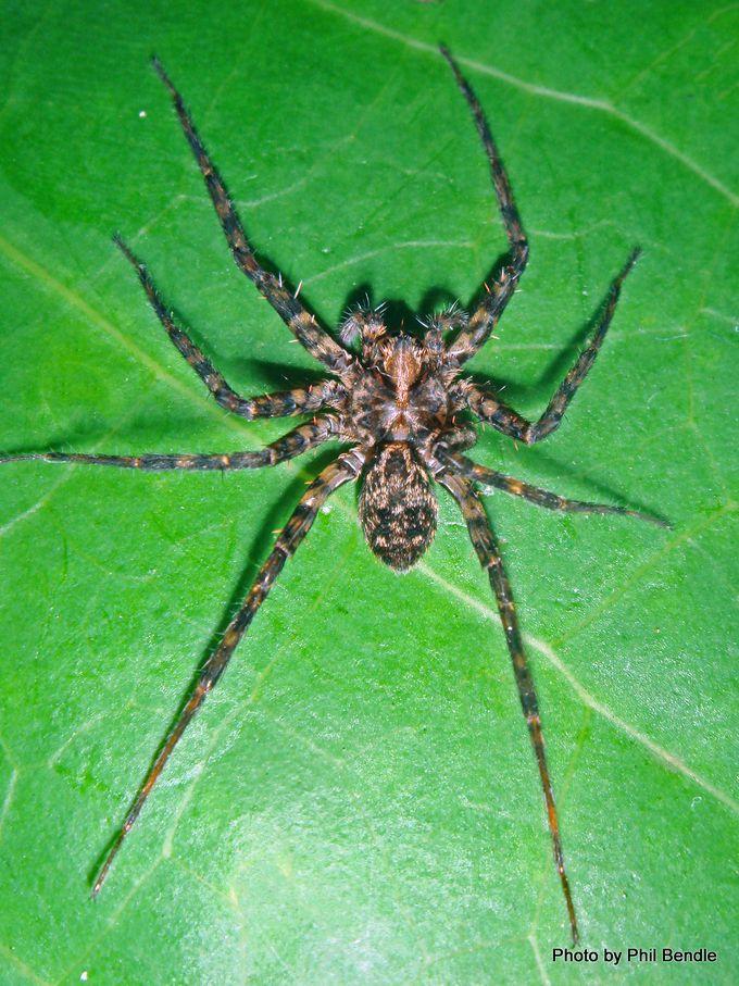 Genus Cycloctenus 2 .JPG