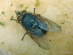 Phil Bendle Collection:Fly (Parasitoid of moths) Genus Panzeria