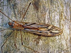 Phil Bendle Collection:Cranefly (Genus Zelandotipula)