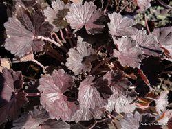 Phil Bendle Collection:Geranium Purple Passion