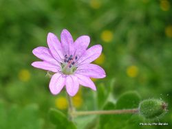 Phil Bendle Collection:Geranium molle (Dovesfoot Cranesbill)