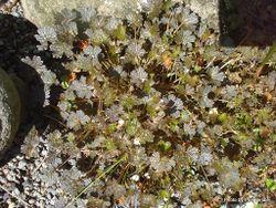Phil Bendle Collection:Geranium sessiflorum (Nigrescens)