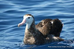 Phil Bendle Collection:Albatross (Antipodean albatross) Diomedea antipodensis