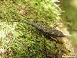 Phil Bendle Collection:Beetle (Giraffe) Lasiorhynchus barbicornis