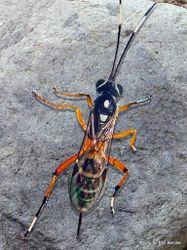 Phil Bendle Collection:Wasp (Glabridorsum stokesii)