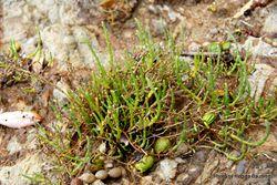 Phil Bendle Collection:Sarcocornia quinqueflora (Glasswort)
