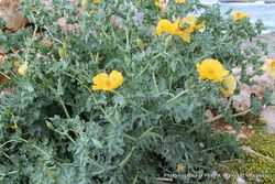 Phil Bendle Collection:Glaucium flavum (Yellow horned poppy)