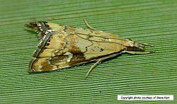 Phil Bendle Collection:Glaucocharis lepidella