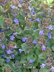 Phil Bendle Collection:Glechoma hederacea (Ground ivy)