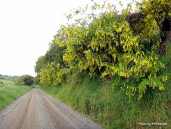Phil Bendle Collection:Laburnum anagyroides (Golden chain)