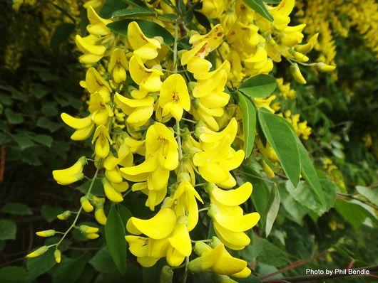 Golden Chain Laburnum anagyroides -001.JPG