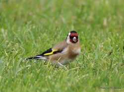 Phil Bendle Collection:Goldfinch (Carduelis carduelis britannica)