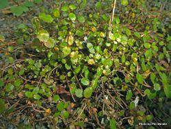 Phil Bendle Collection:Gonocarpus aggregatus