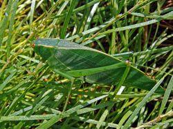Phil Bendle Collection:Katydid (Green) Caedicia simplex
