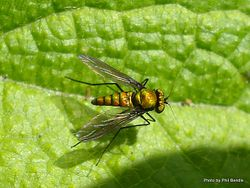 Phil Bendle Collection:Fly (Long legged green) Parentia spp