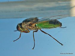 Phil Bendle Collection:Fly (Soldier, Green bodied) Odontomyia sp