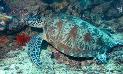 Phil Bendle Collection:Turtle (Green) Chelonia mydas