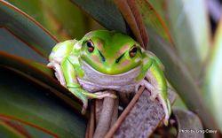 Phil Bendle Collection:Frog (Green & Golden Bell Frog) Litoria aurea